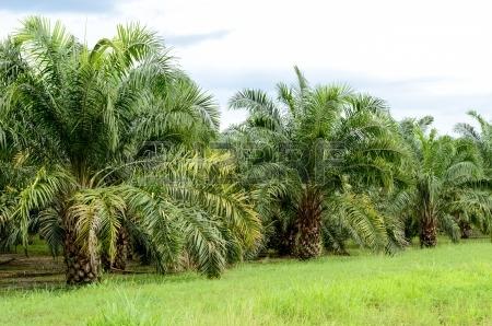 21464287-albero-di-palma-da-olio-in-campo